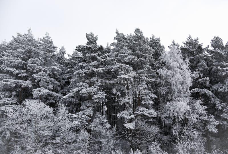 Bosque del paisaje escarchado en invierno imagenes de archivo