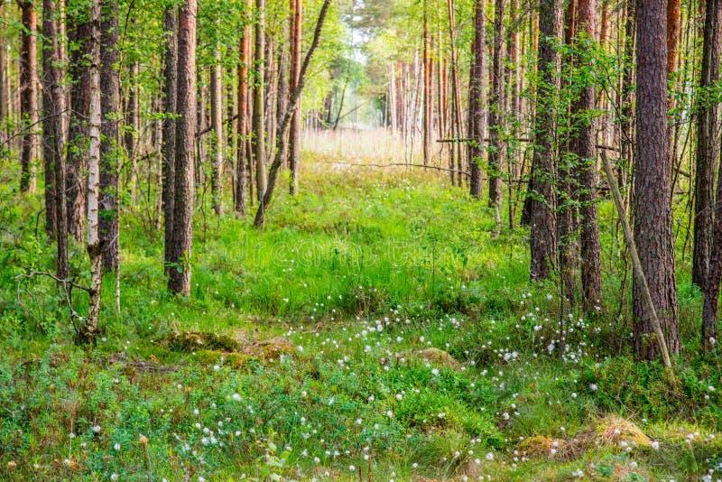 Bosque del pantano, blanco floreciente imagen de archivo libre de regalías