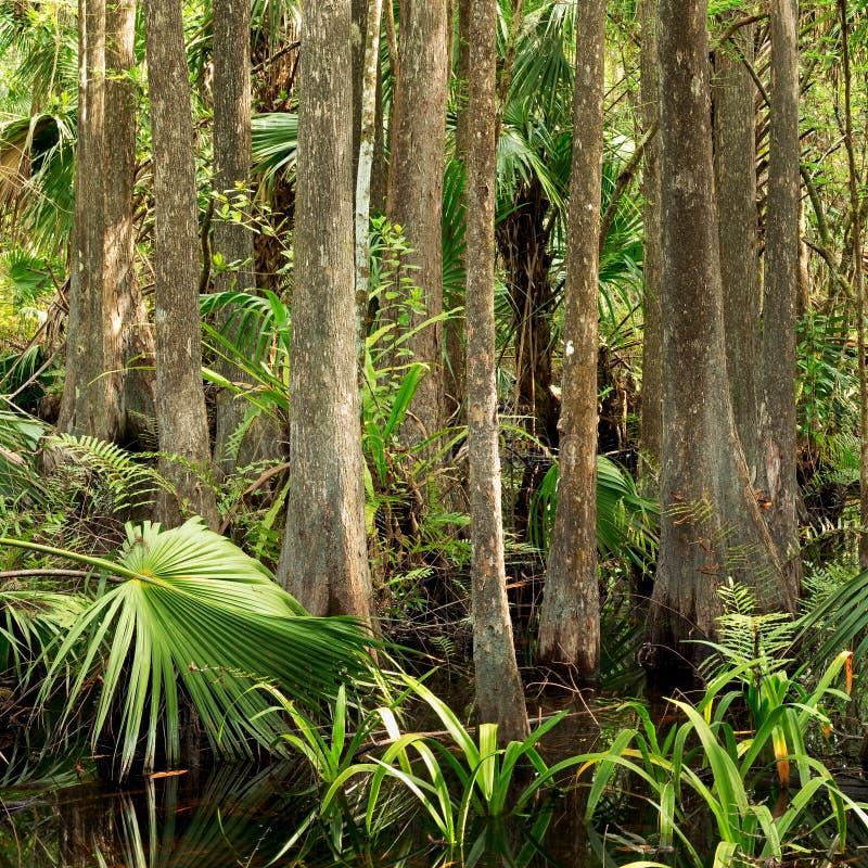Bosque del pantano de la Florida imagen de archivo libre de regalías