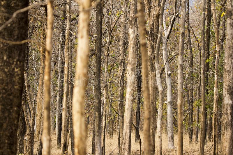 Bosque del parque nacional de Pench, de hojas caducas y seco fotos de archivo
