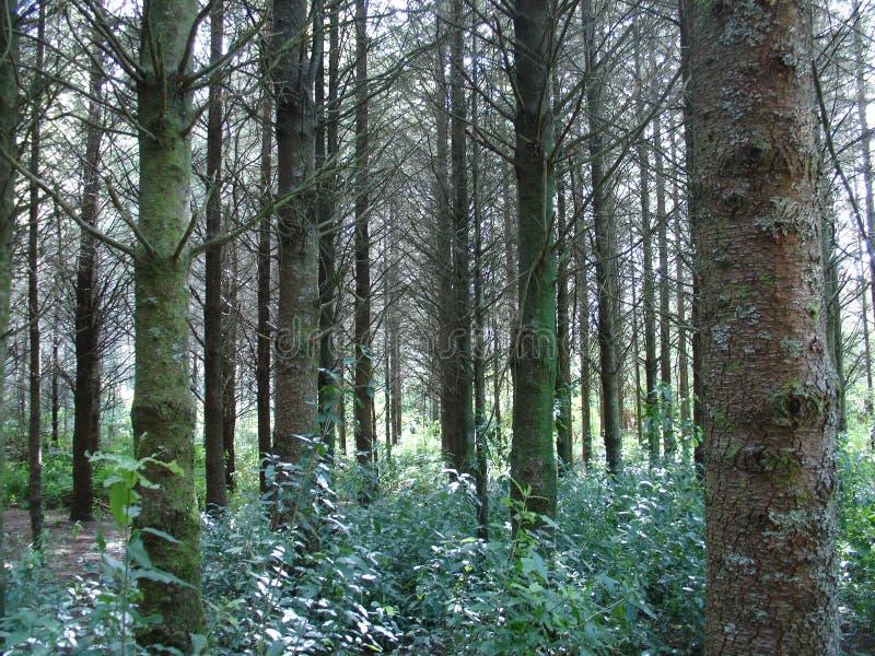 Bosque del pino imagenes de archivo