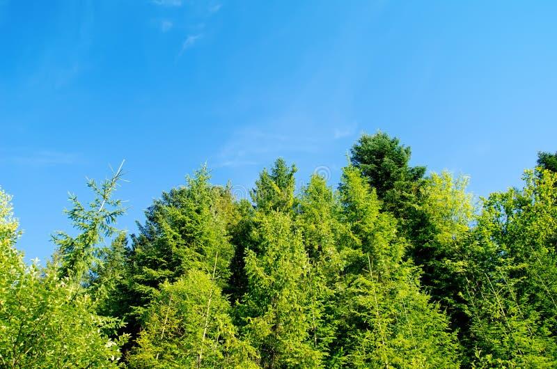 Bosque del pino bajo el cielo azul profundo imagen de archivo