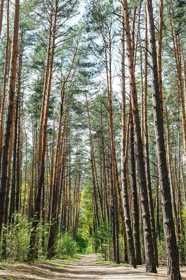 Bosque del pino bajo el cielo azul profundo imágenes de archivo libres de regalías