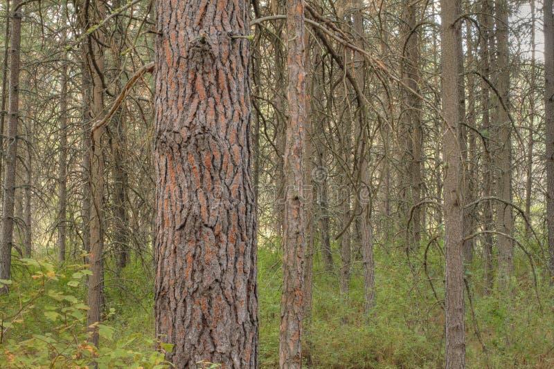 Bosque del pino de Ponderosa imagen de archivo libre de regalías