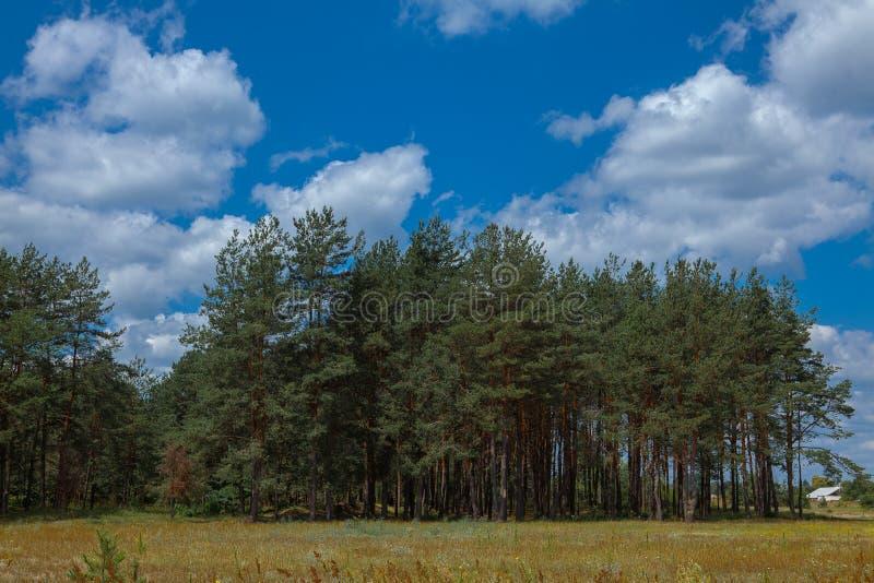 Bosque del pino debajo del cielo azul profundo en la montaña Cárpatos foto de archivo libre de regalías