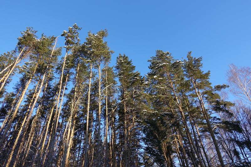 Bosque del pino debajo del cielo azul profundo en la montaña Cárpatos imagen de archivo libre de regalías