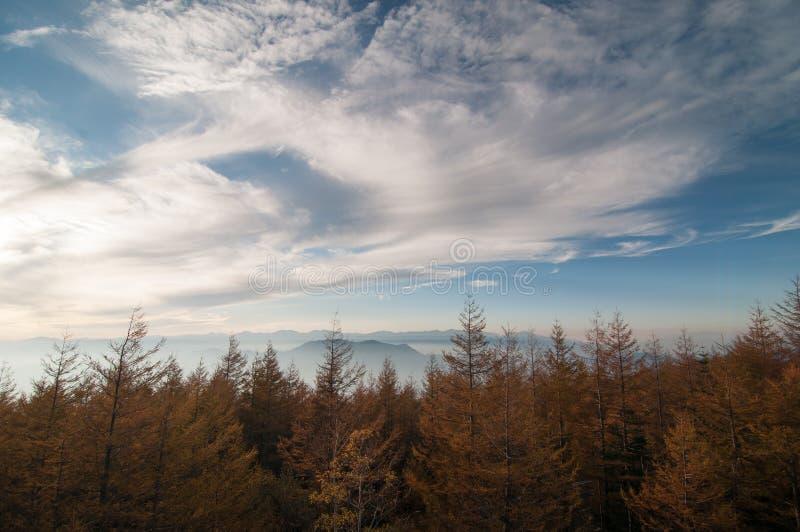 Bosque del pino debajo del cielo azul profundo foto de archivo libre de regalías