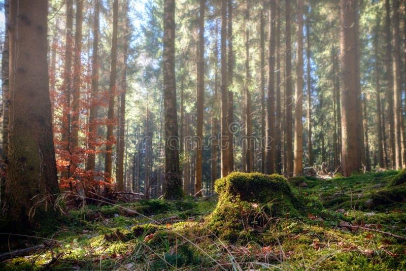 Bosque del pino del verano imagenes de archivo