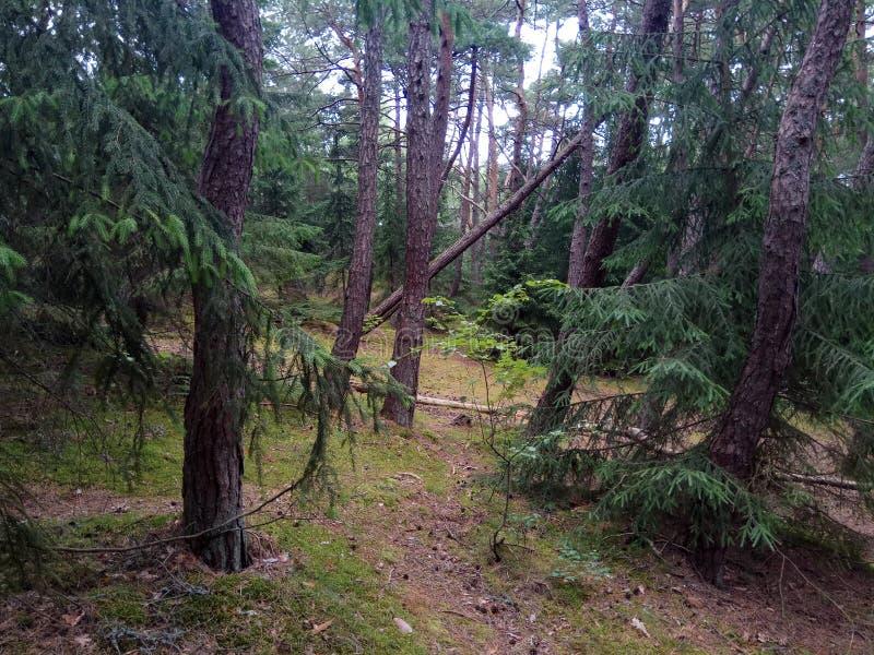 Bosque del pino en el escupitajo de Curonian Costa de mar Báltico fotografía de archivo