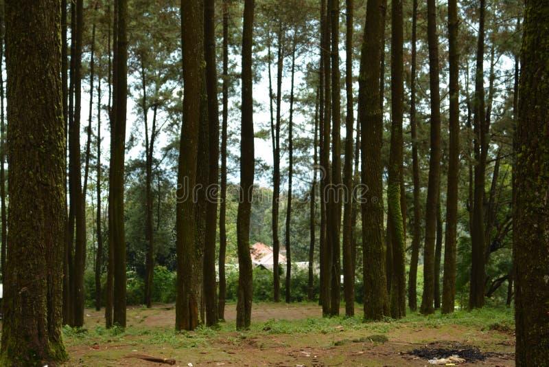 Bosque del pino en el ungaran del soporte imagen de archivo