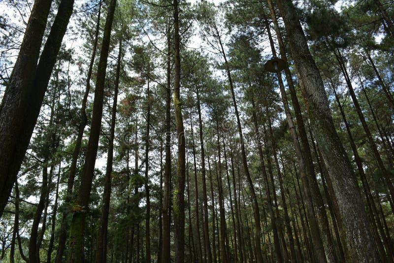 Bosque del pino en el ungaran del soporte imagenes de archivo