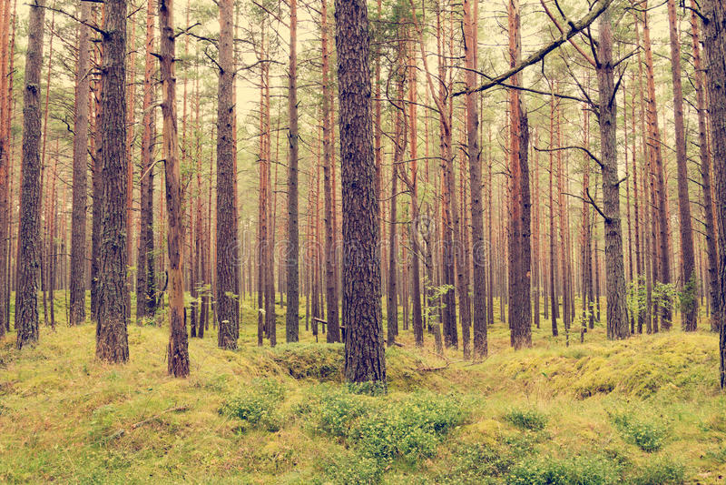 Bosque del pino en el verano imagen de archivo libre de regalías