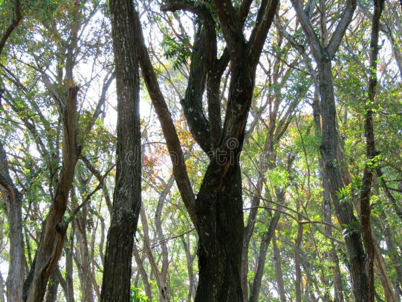 Bosque del pino en imogiri fotos de archivo libres de regalías