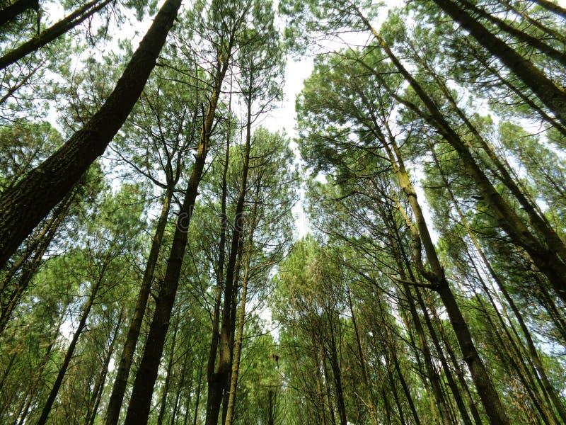 Bosque del pino en imogiri foto de archivo