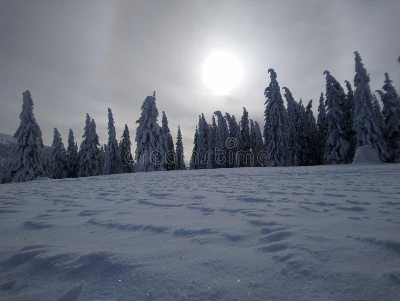 Bosque del pino en invierno fotos de archivo