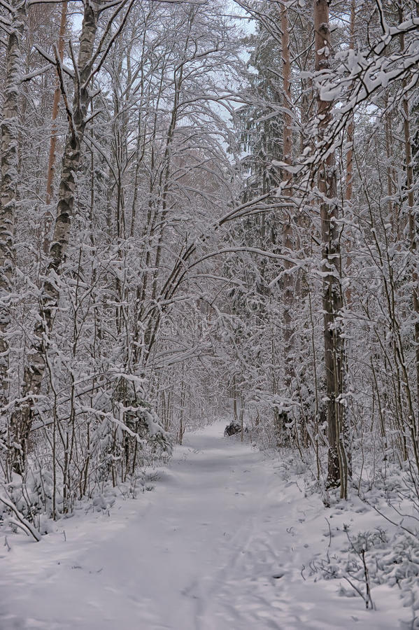 Bosque del pino en invierno fotos de archivo libres de regalías