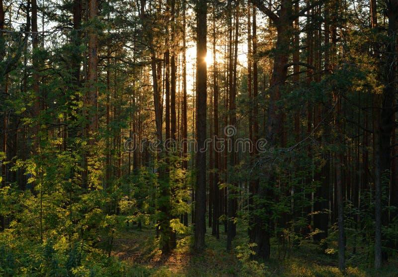 Bosque del pino en la puesta del sol fotos de archivo libres de regalías