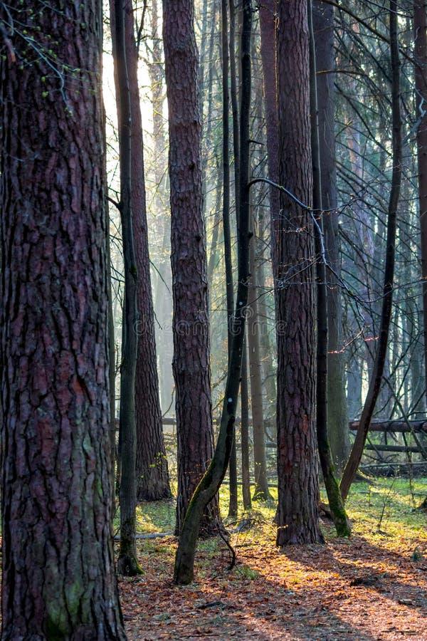 Bosque del pino en la puesta del sol después de la lluvia, rayos del sol en la neblina imagen de archivo