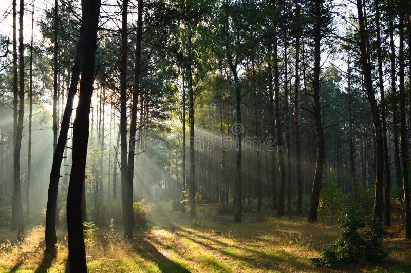 Bosque del pino en luz del sol de la mañana la niebla imagenes de archivo