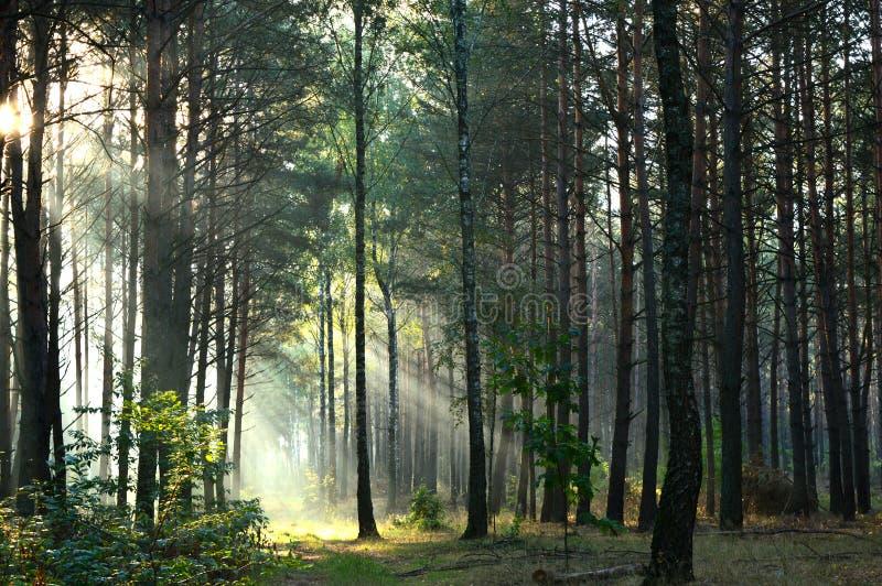 Bosque del pino en luz del sol de la mañana la niebla fotos de archivo libres de regalías