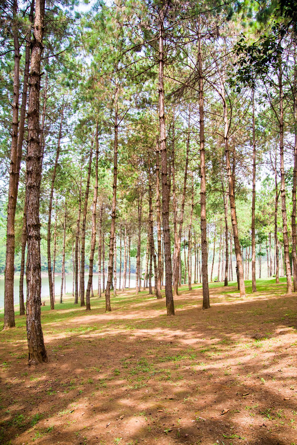 Bosque del pino en Mae Hong Son, Tailandia fotografía de archivo