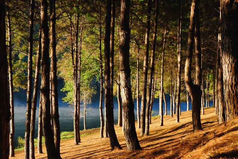 Bosque del pino en Pang Ung, Mea Hong Son Province, Tailandia foto de archivo