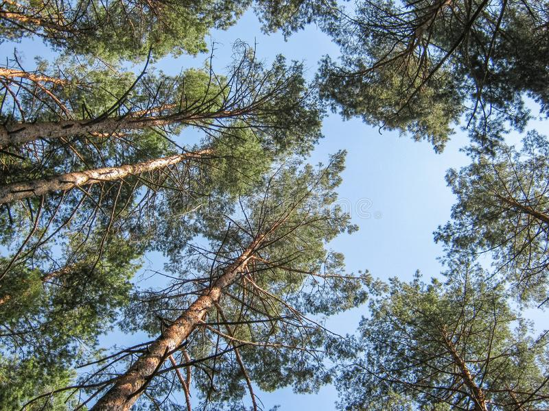 Bosque del pino en un día de verano asoleado perspectiva Árboles de pino contra el cielo azul Visión inferior imagenes de archivo