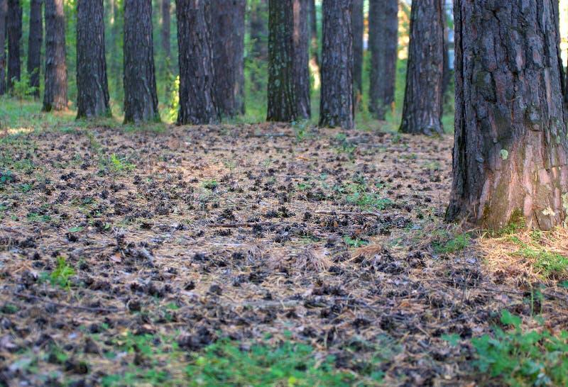 Bosque del pino muchos conos del pino en la tierra en la alfombra del pino foto de archivo libre de regalías