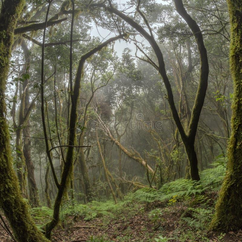 Bosque del residuo en las cuestas de la cordillera del parque nacional de Garajonay Laureles y árbol gigantes Heather a lo largo  fotografía de archivo