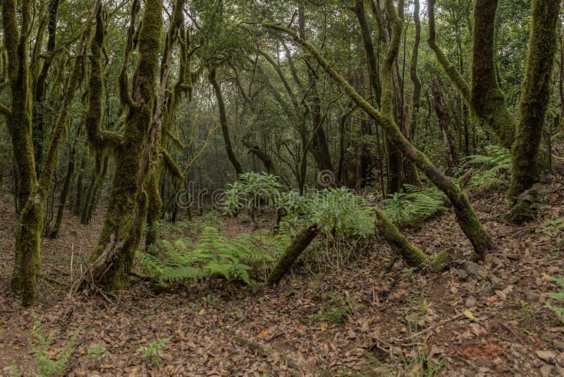 Bosque del residuo en las cuestas de la cordillera del parque nacional de Garajonay Laureles y árbol gigantes Heather a lo largo  fotografía de archivo libre de regalías