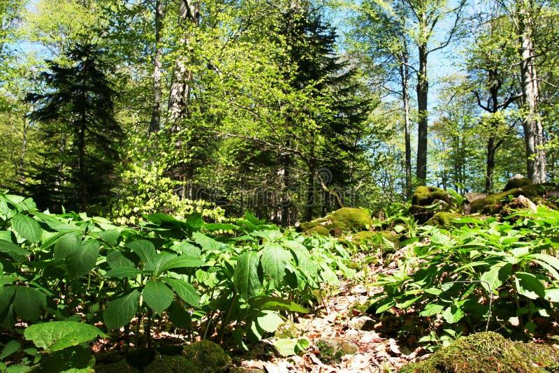 Bosque del resorte foto de archivo