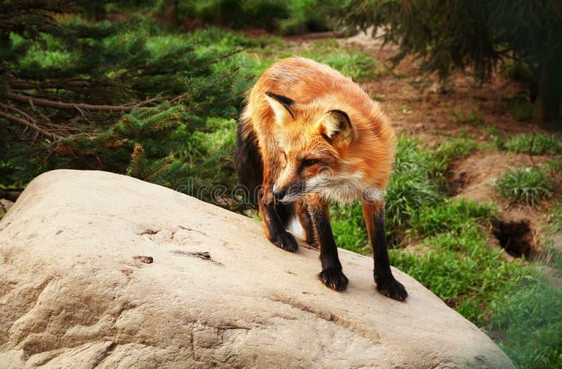 Bosque del rojo del Fox fotos de archivo libres de regalías