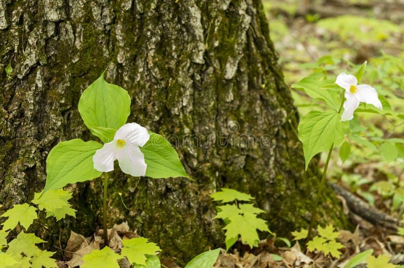 Bosque 13 del Trillium imagen de archivo libre de regalías