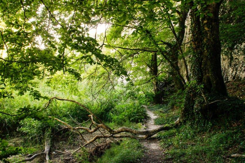 Bosque del verano de la mañana con verdor y la trayectoria de bosque brillantes imagenes de archivo