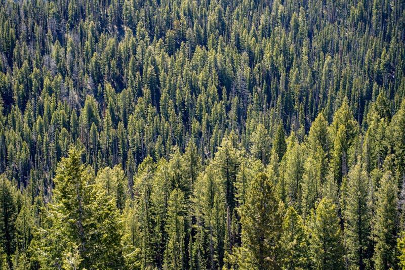 Bosque denso, rugoso de pinos ponderosa en las montañas del desierto del diente de sierra de Idaho foto de archivo