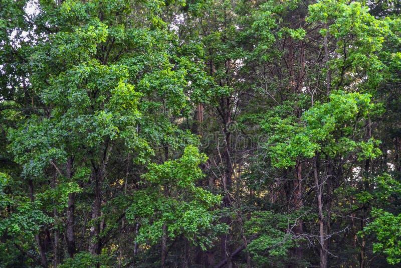 Bosque denso un matorral impenetrable Imagen de fondo Rusia Árbol en campo imagenes de archivo