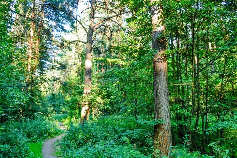 Bosque denso un matorral impenetrable Imagen de fondo Rusia Árbol en campo imágenes de archivo libres de regalías
