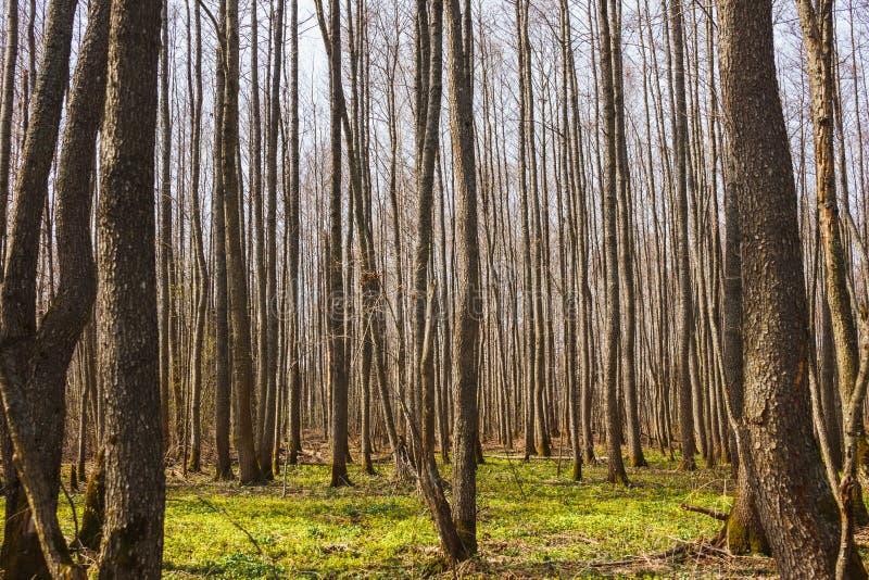 Bosque desnudo de la primavera muchos troncos de árbol del álamo temblón imagen de archivo