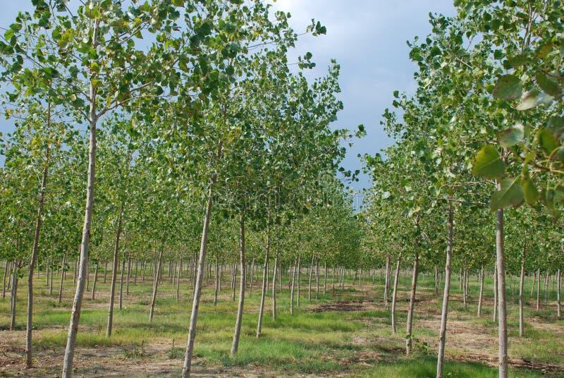 Bosque do Poplar foto de stock