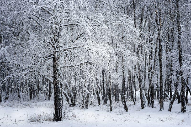 Bosque do vidoeiro após a queda de neve Região de Rússia, Sibéria, Novosibirsk fotografia de stock