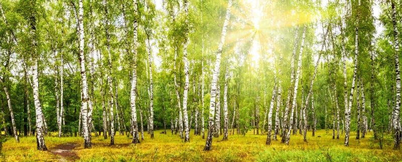 Bosque do vidoeiro com uma estrada no dia de verão ensolarado fotos de stock royalty free