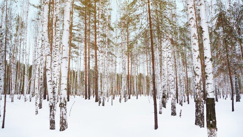 bosque do vidoeiro do inverno imagem de stock royalty free