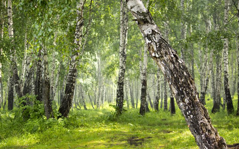 Bosque do vidoeiro na floresta fotografia de stock