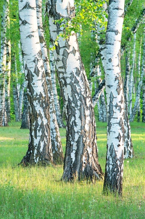 Bosque do vidoeiro na floresta no amanhecer, troncos de árvore close-up, verão fotografia de stock royalty free