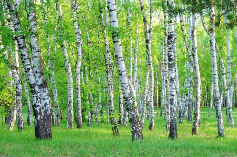 Bosque do vidoeiro na floresta no amanhecer, troncos de árvore, verão foto de stock royalty free