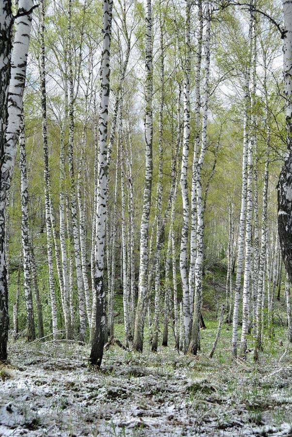 Bosque do vidoeiro na mola fotos de stock royalty free