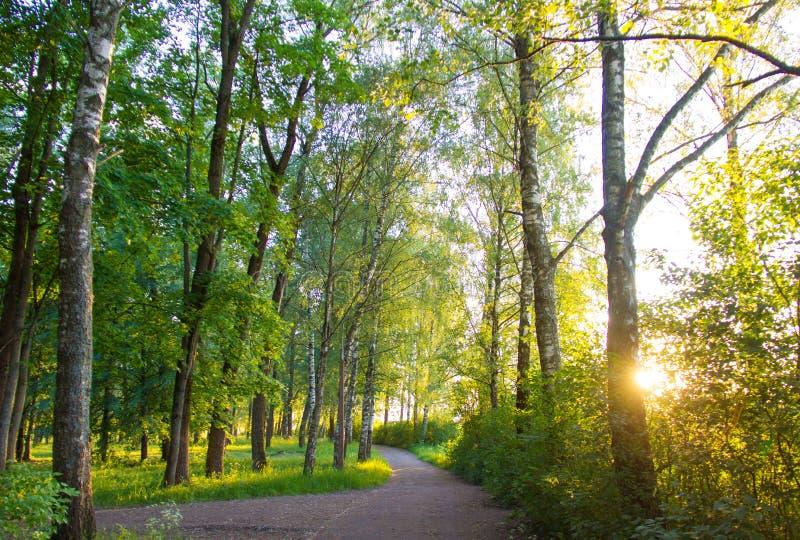 Bosque do vidoeiro no banco do rio ocidental de Dvina em Polotsk foto de stock