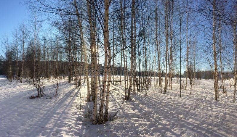 Bosque do vidoeiro no inverno da manhã fotografia de stock