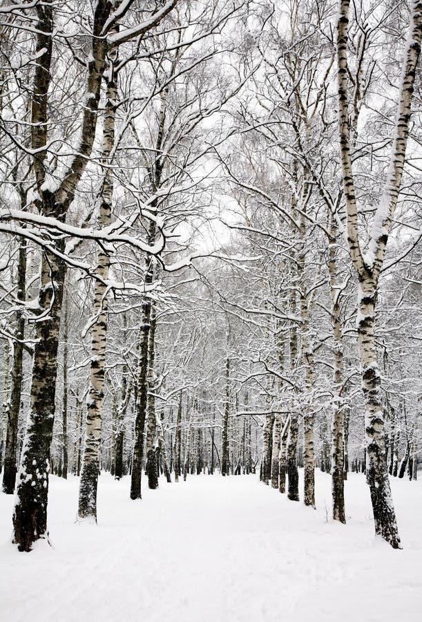 Bosque do vidoeiro no inverno do russo fotografia de stock