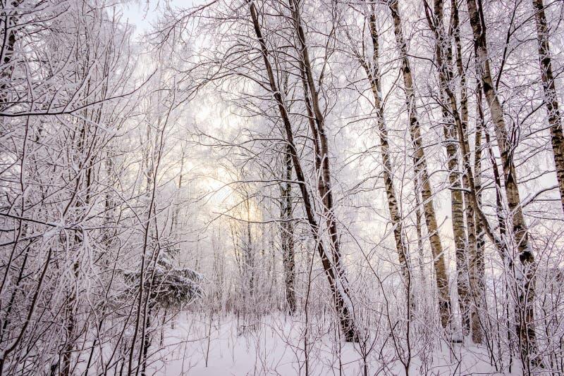 Bosque do vidoeiro no inverno na neve ?rvores brancas ?rvores na neve Imagem da neve Bosque da paisagem do inverno das ?rvores br fotografia de stock
